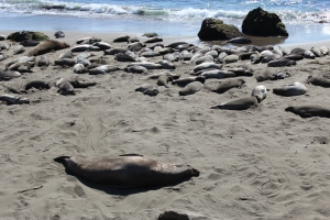 Elephant seals on the beach. The largest ones are male.