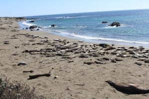 All along the beach, what looked like piles of sand were massive elephant seals!